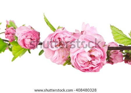 A branch of pink rose bush isolated on white background