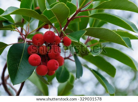 A branch of strawberry tree with ripe fruits close-up. Cyprus Strawberry Tree - stock photo
