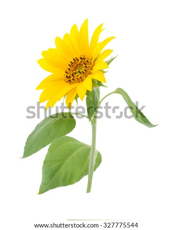 a branch of sunflower flower isolated on white  - stock photo
