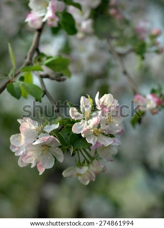 a branch of the pear with delicate pink flowers - stock photo