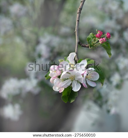 a branch of the pear with delicate pink flowers