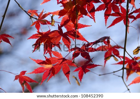 A branch of yellow red leaves of japanese maple in backlight, in front of a blue sky - stock photo