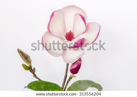 A breathtaking magnolia displays its beauty on a nice white background. Beautiful for wedding invitations, gardening magazines, advertisements, posters, signs, and many other great ideas and concepts. - stock photo