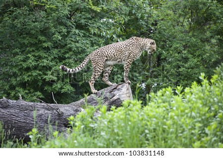 A breathtaking side shot of a cheetah standing on a big tree log, looking down as if they are ready to take action or anxiously awaiting prey. - stock photo