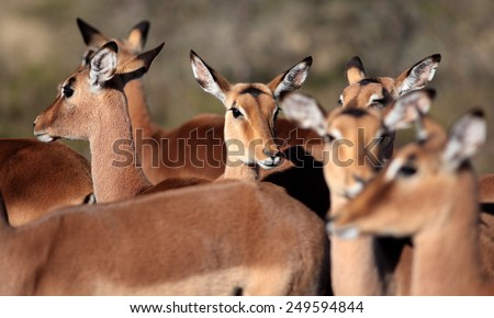 A breeding herd of impala antelope. Taken in South Africa - stock photo