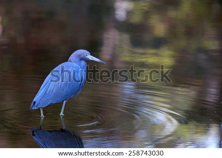 A bright blue heron wades in a rippling pool - stock photo