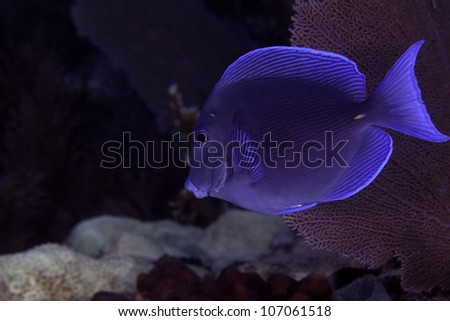 A bright blue tang swimming on an Atlantic ocean coral barrier reef in Key Largo, Florida inside the John Pennekamp state park. - stock photo