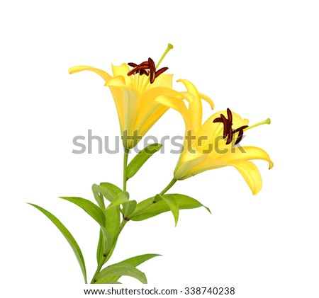 A bright golden yellow Asiatic lily flower (Lilium bulbiferum croceum), isolated on white. - stock photo