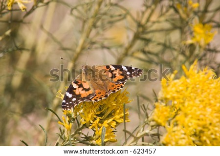 A bright orange, black, brown and white butterfly poses on top of the bright yellow flowers of New Mexico rabbitbrush