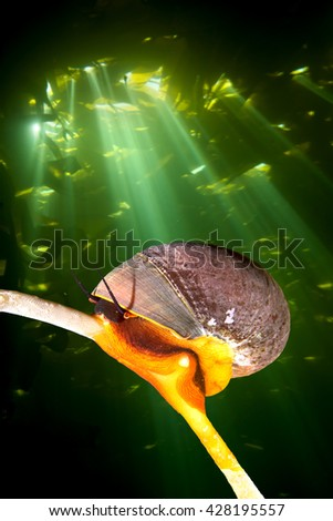 A bright orange Norris top snail crawls on a kelp stalk while sunshine pierces the kelp canopy, creating a dramatic backdrop