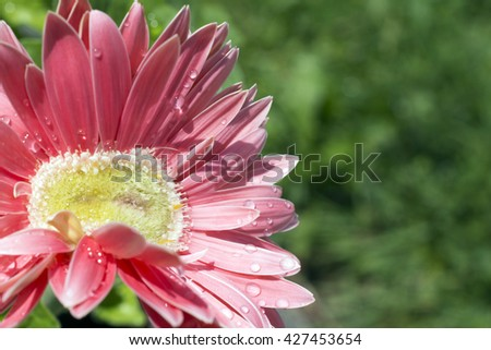 A bright pink mutant gerber daisy after a rain shower, in bright sun. Brightly colored background with well-planned area of soft-focus grass, prefect for text.  - stock photo