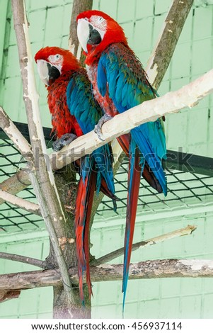 A bright red macaw parrot, sitting on a branch.