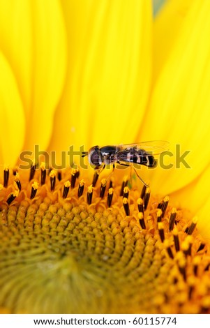 a bright sunflower with a small insect