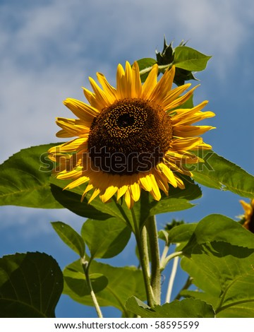 A bright, yellow sunflower stands tall against a blue sky. - stock photo