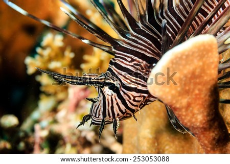 A brightly colored and patterned Lionfish on a tropical coral reef - stock photo