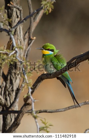 A brightly colored swallow-tailed bee-eater sitting in a tree