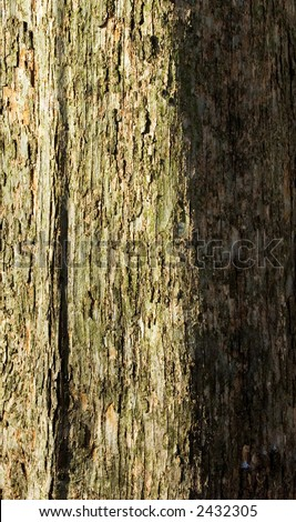 A brightly side-lit shag-bark hickory tree shows it's shagy, peeling gray bark that is partially covered with algae. - stock photo