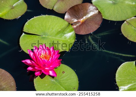 A brilliant magenta water lilly in a dark pond with lilly pads - stock photo