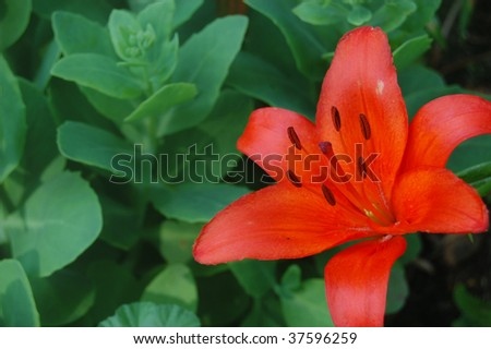 A brilliant orange lily with a background of succulent sedum