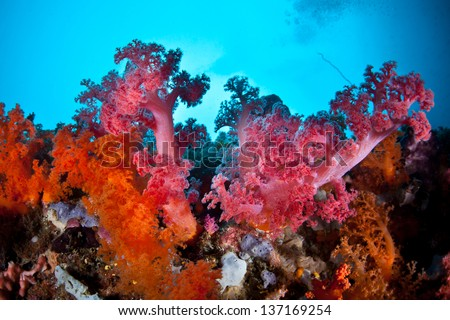 A brilliant soft coral colony (Dendronephthya sp.) grows on the edge of a channel in Raja Ampat, Indonesia.