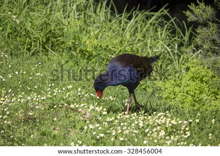 A brilliantly feathered  Purple swamp hen porphyria porphyria  standing  in the   green grassy  field  in Big Swamp  Bunbury Western Australia  on a sunny spring  afternoon.