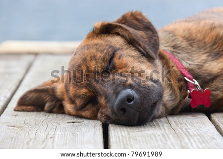 A brindled Plott hound puppy on a porch