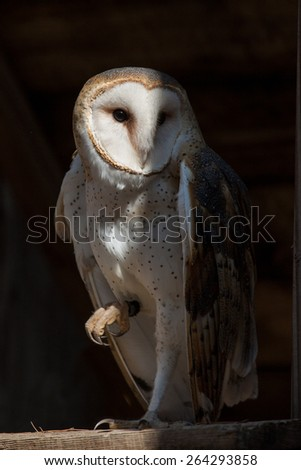 A british barn owl perched in a rafter. - stock photo