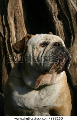 A british bulldog - stock photo