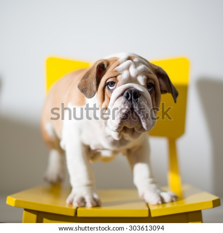 A British Bulldog Puppy standing on a yellow chair. - stock photo