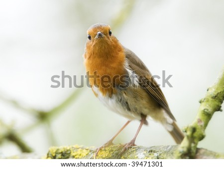 A British Robin - stock photo