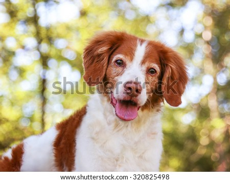 a brittany spaniel smiling at the camera in a local park during summer - stock photo