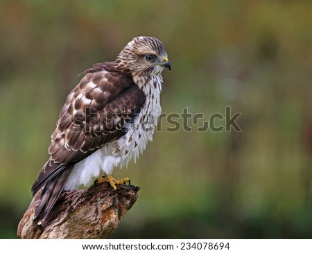 A Broad-winged Hawk (Buteo platypterus) perched on a stump.  - stock photo