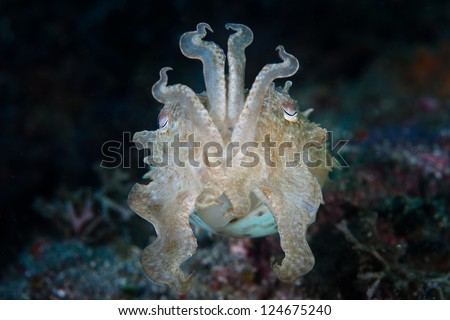 A Broadclub cuttlefish (Sepia latimanus) found in Lembeh Strait, Indonesia displays an interesting tentacle display probably meant to communicate alarm. - stock photo
