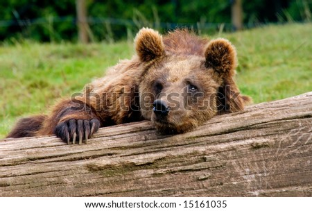 a brow bear resting lazy on a log