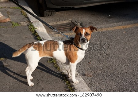 A brown and white dog standing near a person  - stock photo