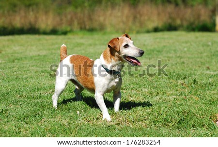 A brown and white old purebred male Parson Jack Russell with alert facial expression standing in a park. - stock photo