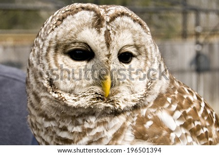 A brown and white owl with a yellow beak looks down.