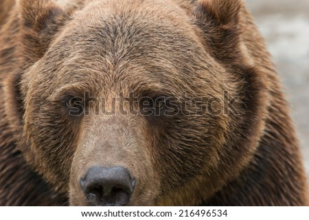 A brown bear closed in a cage in the zoo - stock photo
