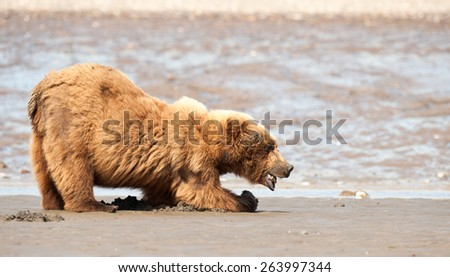 A brown bear eating razor clams on a beach in Alaska - stock photo