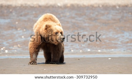 A brown bear on a beach with the ocean in the background in Alaska - stock photo