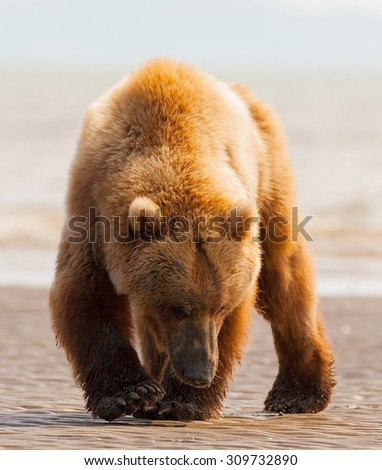A brown bear searching for clams on a beach in Alaska - stock photo
