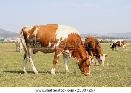A brown cow in pasture with blue sky