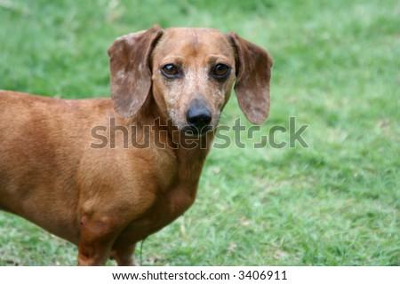 A Brown Dachshund - stock photo