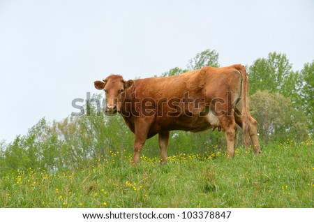 A brown dehorned cow feeding on meadow.