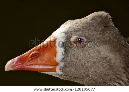 a brown duck whit blue eye in buenos aires argentina