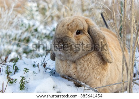 A brown dwarf rabbits in snowy garden / Dwarf Rabbit / Pet