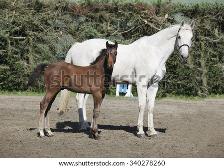 a brown foal standing next to his mother mare and looks - stock photo
