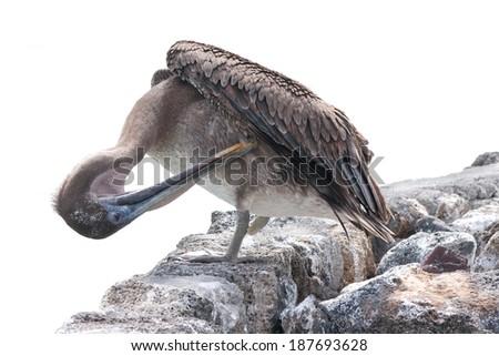 A brown Galapagos pelican pruning himself, Santa Cruz, Galapagos (Ecuador)  - stock photo