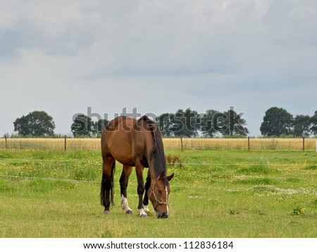 A brown horse eating grass on a Dutch meadow. - stock photo