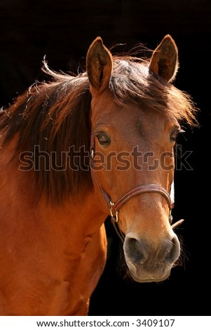 A brown horse isolated against a black background
